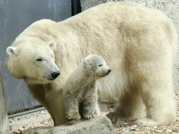 polar-bear-560339_1280