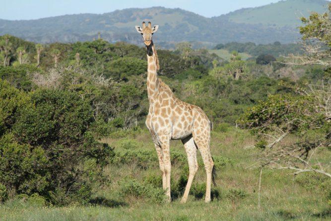 В мире: Жирафам грозит вымирание
