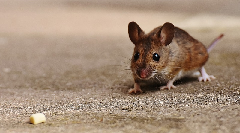 Animal Nature Cute Mouse Rodent Nager Mammal