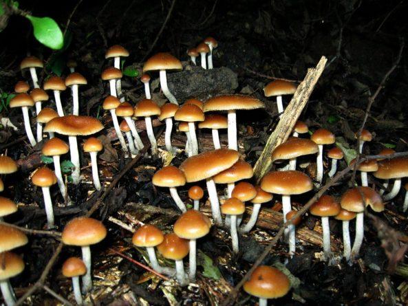 psilocybin-mushroom-DMDFv8BXcAAfXMZ