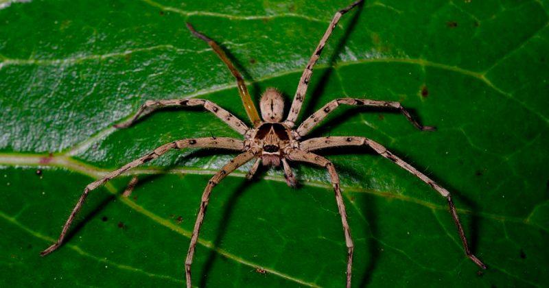 В мире: Тайваньские ветеринары спасли паука-охотника, угодившего в мышеловку