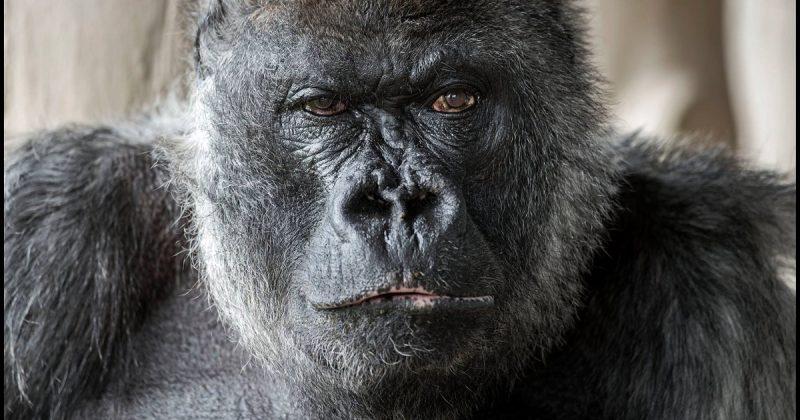 Происшествия: Одна из старейших горилл в мире умерла в зоопарке Великобритании