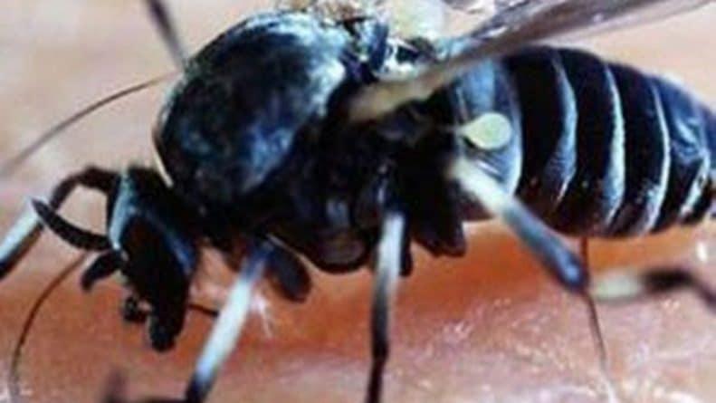Здоровье и красота: Британцев атакуют блэндфордские мухи, чьи укусы приводят к нарывам, опухолям и горячке