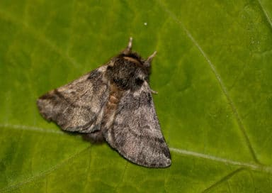 бабочка дубового шелкопряда
