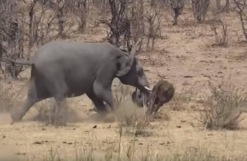 Британского солдата убил бродячий слон в ходе боевой операции