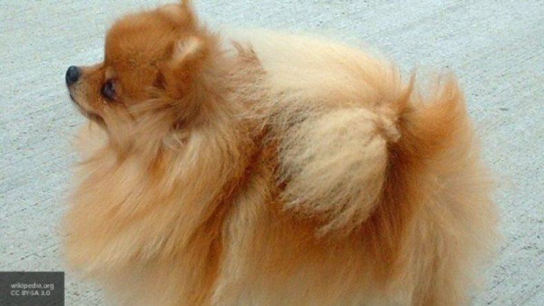 Общество: Россияне из всех пород собак предпочитают немецких шпицов