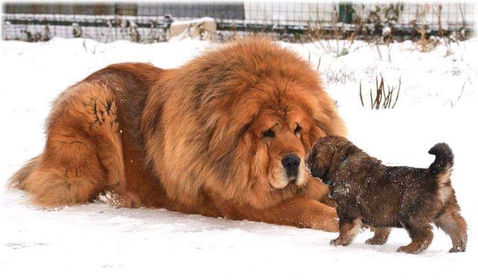 ТОП-5 самых дорогих пород собак в мире - today.ua