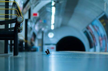 Общество: Фото дня: драка мышей на станции метро — победитель конкурса Лондонского музя естествознания