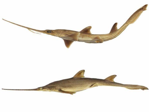 Общество: Немецкий зоолог назвал новые виды акул в честь своих дочерей