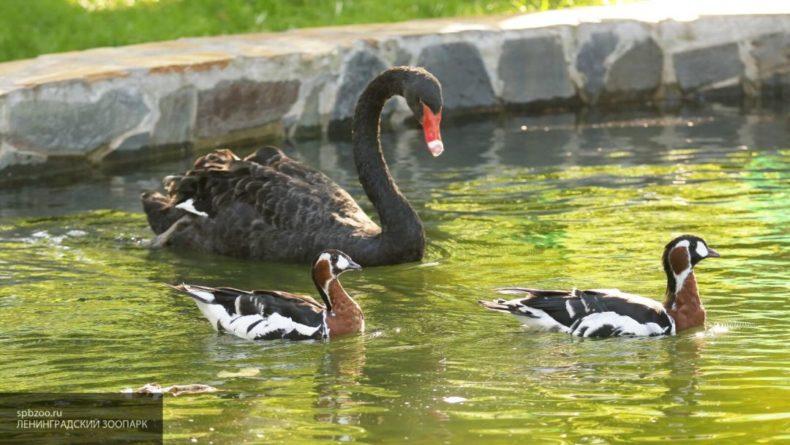 Общество: В этом году лебедям в Британии стали чаще причинять вред