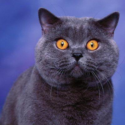 Общество: У домашнего кота в Британии впервые обнаружили коронавирус